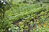Farm garden with beetroot, bush beans