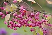 Euonymus europaeus (prune cap), branch with fruits