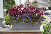 Box with Torenia Summer Wave 'Large Violet'