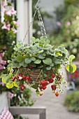 Flower hanging basket with hanging strawberries