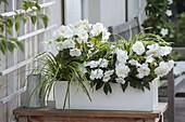 White box with Begonia 'New Star White', Impatiens