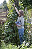 Set up a bean tent from runner beans