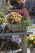 Basket of Chrysanthemum Yahou 'Faro', Erica gracilis