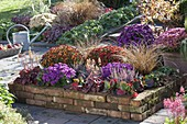 Brick patio bed with Aster dumosus 'Amethyst'