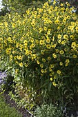 Helianthus microcephalus 'Lemon Queen' (perennial sunflower)