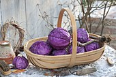 Basket of freshly harvested red cabbage