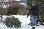 Young woman transporting abies nordmanniana on sledge