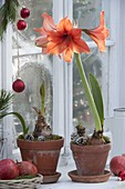Hippeastrum 'Orange Souvereign' und Kolibri 'Rot' (Amaryllis) in Tontoepfen