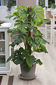 Philodendron petusum syn. Monstera deliciosa (window leaf)