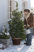 Woman watering Ilex mexerveae 'Blue Prince' (male holly)