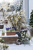Snowy early spring terrace with Jasminum nudiflorum