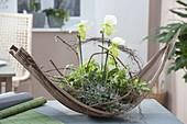 Coconut shell as planter-Paphiopedilum 'Clair de Lune' 'Edgar van Belle'