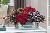 Zinc Bowl with Begonia 'Grace' (Begonia Begonia), Begonia Beleaf