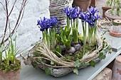 Flat basket with iris reticulata 'Harmony' and Hyacinthus