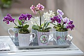 Cups with Mini Orchids Phalaenopsis 'Little Lady'