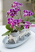 Mini Orchids Phalaenopsis 'Little Lady' (Malay Flower)