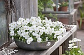 Viola cornuta Callisto 'White' (Hornveilchen) in grauer Schale auf Holzbank