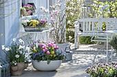 Colorful spring terrace with Tulipa 'Early Glory', Myosotis 'Myomark'