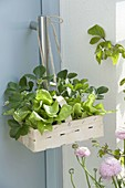 Small chip basket with lettuce plants and strawberries
