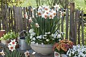 Narcissus 'Accent', Viola cornuta 'White', Bellis