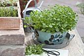 Watercress in enamel pot on zinc tray