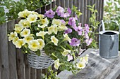 Petunia perfectunia 'Yellow', Calimero 'Candy' in basket