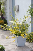 Kerria japonica 'Golden Guinea' in wooden tub