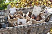 Plant basket with flower bulbs in layers