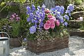 Wickerwork planter with campanula, rose
