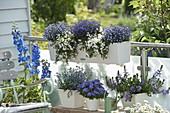 Blue and white balcony with Delphinium, Lobelia Hot 'Bavaria'