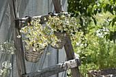 Kamille (Matricaria chamomilla) in kleinen Koerben an Leiter gehängt