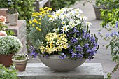 Bowl with Leucanthemum superbum 'Angel', Scaevola 'Diamond'