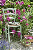 Chair in front of Rosa gallica officinalis, historical, once-flowering