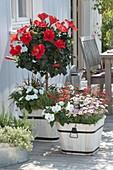 Hibiscus rosa-sinensis 'Paramaibo', Impatiens New Guinea