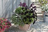 Terracotta pot with Salvia 'Go-Go Purple', Petunia 'Upright Black