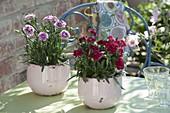 Dianthus caryophyllus 'Odessa Purple', 'Etincelant' (Carnation)