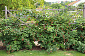 Trellis as a room divider stingless blackberry 'Chester Thornless'