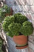Mini basil 'Picolino' (Ocimum basilicum) in a wall pot