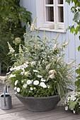 Gray bowl with white-flowering plants, Buddleja Buzz 'Ivory'