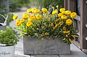 Gray box with Helichrysum syn. Bracteantha 'Totally Yellow'