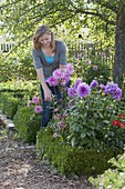 Woman cutting Dahlia flowers in flowerbed with Buxus
