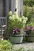 Hydrangea paniculata 'Lime Light' (Shrub Hydrangea) with Dahlia