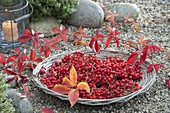 Basket bowl with freshly harvested berries of Sorbus 'Edulis'