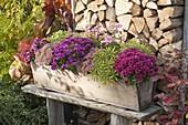 Wooden balcony box with Chrysanthemum 'Kifix', 'Pan'