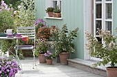 Summer terrace Lagerstroemia indica 'Natchez', Echinacea