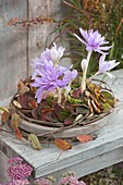 Colchicum 'Waterlily' (fall-time lotus) in leaved wreath