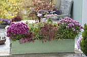 Planting green wooden box with chrysanthemums