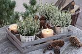 Calluna vulgaris 'Allicia' in wooden box