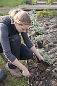 Woman planting sage bedding in organic garden