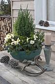 Türkise Schale winterhart bepflanzt mit Helleborus niger 'Christmas Star'